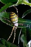 Araignée de guêpe (bruennichi d'Argiope) Images libres de droits