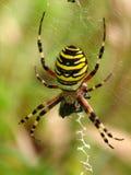 Araignée de guêpe (bruennichi d'Argiope) Photo stock