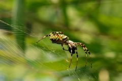 Araignée de guêpe de petit déjeuner d'araignée Image libre de droits