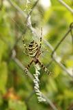 Araignée de guêpe en Web (Bruennichi d'Argiope) Photos stock