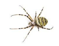 Araignée de guêpe vue de la haute haute, bruennichi d'Argiope, d'isolement Photos stock