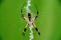 Araignée de jardin Photo libre de droits