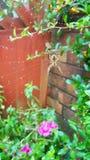 Araignée de jardin commune R-U Photo libre de droits