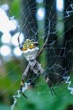 Araignée de jardin d'argent d'argentata d'Argiope Photo libre de droits