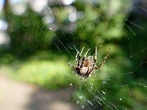 Araignée de jardin dans la toile d'araignée Image stock