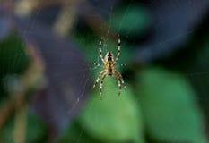 Araignée de jardin en Web avec le foyer sur le corps et les jambes principales et troubles et le fond Images libres de droits