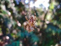Araignée de jardin européenne Photographie stock libre de droits