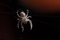 Araignée de jardin sur un Web Images stock