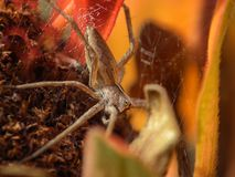 Araignée de loup Photo libre de droits