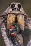 Araignée de loup avec des crocs dans la mouche Images stock