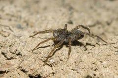 Araignée de loup mignonne Image stock
