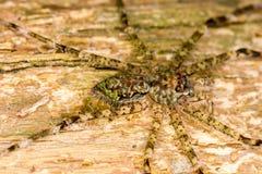 Araignée de loup rican de côte Images stock