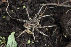 Araignée de loup, singoriensis de Lycosa de tarentule sur le champ photos stock