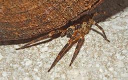 Araignée de loup sous un log Photo stock
