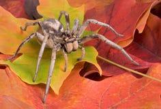 Araignée de loup sur des lames d'automne Photographie stock libre de droits