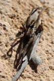 Araignée de loup sur un morceau d'écorce photos libres de droits