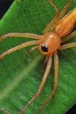 Araignée de lynx Photos stock