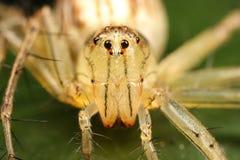 Araignée de Lynx Images libres de droits