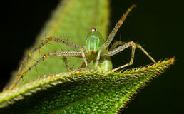 Araignée de Lynx Photo libre de droits
