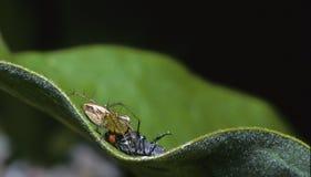 Araignée de lynx avec la proie Photo libre de droits