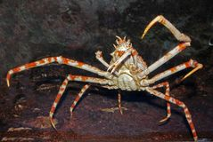 Araignée de mer à l'intérieur de l'aquarium Photographie stock libre de droits