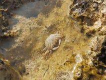 Araignée de mer commune - squinado de Maja Photo stock