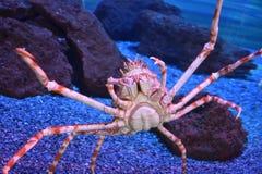 Araignée de mer japonaise géante images stock