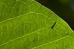 Araignée de modèle de feuille. Photographie stock