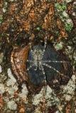 Araignée de pêche de Whitebanded sur un noeud de bois photo libre de droits