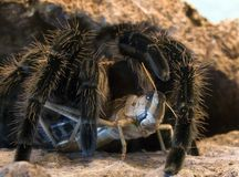 Araignée de Tarantula Photo stock