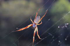 Araignée de tissage de globe d'or Photographie stock