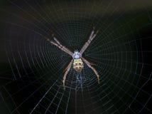 Araignée de tisserand de corps rond Photographie stock