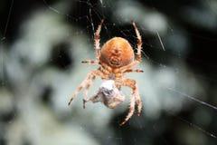 Araignée de tisserand de corps rond de jardin Photographie stock