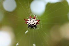 Araignée de tisserand de corps rond de Spiney Photos stock
