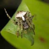 Araignée de tisserand de globe d'Equateur Photographie stock libre de droits