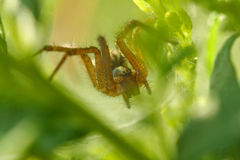 Araignée de tisserand de Web d'entonnoir Photo stock