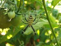 Araignée de tomate Image stock