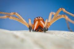 Araignée de toxique de punctorium de Cheiracanthium Photo libre de droits