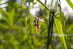 Araignée descendant sur le Web Photo stock