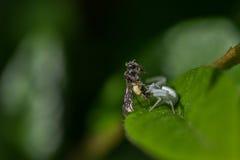 Araignée dorée de crabe Photo libre de droits