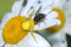 Araignée dorée sur la fleur de marguerite Photo stock