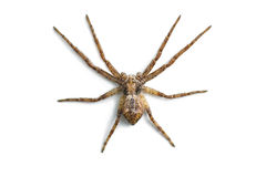 Araignée effrayante d'isolement sur le blanc Photo libre de droits