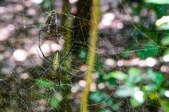 Araignée en bois géante dans la forêt Indonésie images stock