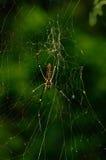 Araignée en bois géante, Sikkim, Inde Image libre de droits