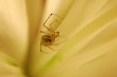 Araignée en fleur Photographie stock libre de droits