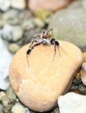 Araignée en pierre Photographie stock libre de droits