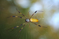 Araignée en soie d'or Image stock