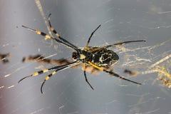 Araignée en soie d'or Photos stock