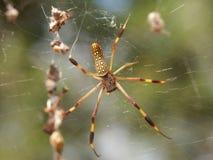 Araignée en soie d'or de tisserand de corps rond image libre de droits