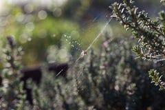 Araignée en Web Photographie stock
